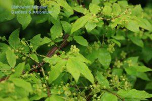 Euonymus alatus (burning bush)