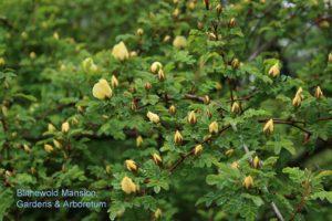 Rosa xanthina f. hugonis (Father Hugo's rose)