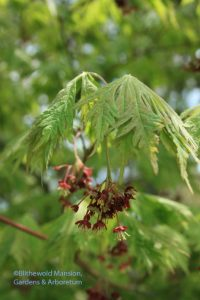 Full moon cut leaf Japanese maple (Acer aconitifolium)