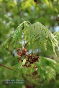 Full moon cut leaf Japanese maple (Acer aconitifolium)