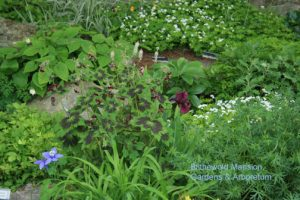 Geranium phaeum and a color echo iris
