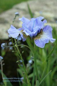 Julie's iris