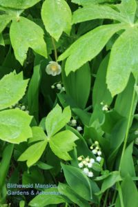 mayapple and lily-of-the-valley