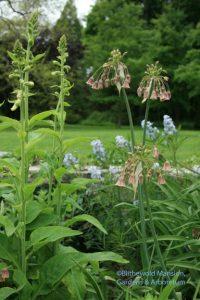 Nectaroscordum siculum subsp. bulgaricum, Amsonia and a budded foxglove