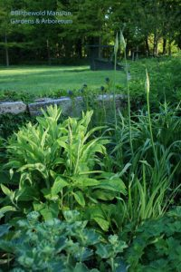 Waiting for the Nectaroscordum, foxglove, amsonia, and lady's mantle