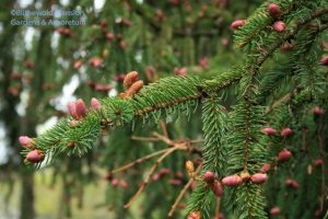 Norway spruce (Picea abies) female flowers
