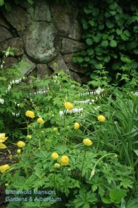Trollius 'Lemon Queen' and Dicentra alba and the North Star