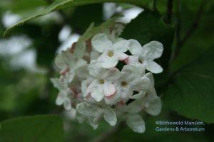 Vibernum carlesii flower. Scratch-n-sniff!