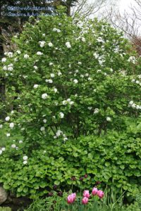 Viburnum carlesii outside the North Garden