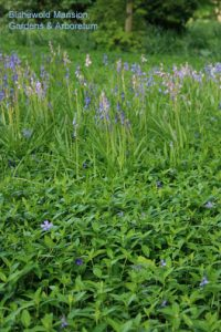 Vinca minor and Spanish bluebells (Hyacinthoides hispanicum)