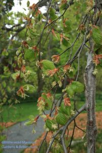 Weeping beech (Fagus pendula) flowering and leafing out