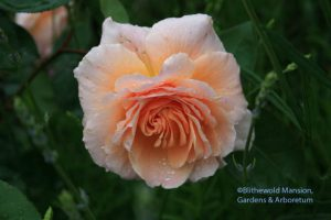 'Ambridge Rose' on the hit list - or not.