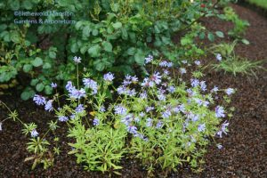 perky blue woodruff
