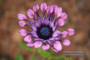 Osteospermum - Soprano Lilac Spoon