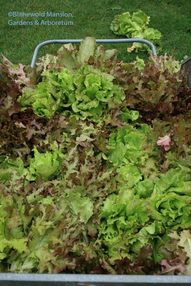 cart full of lettuce