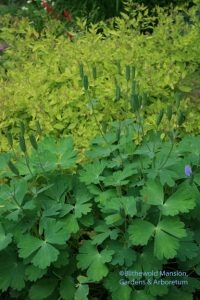 Columbine capsules and Spirea 'Little Elf'