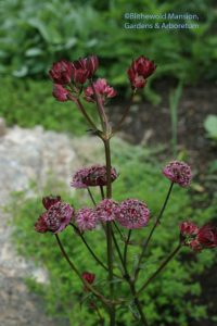 Astrantia 'Hadspen's Blood'