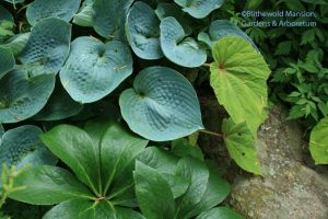Hosta, Begonia grandis and Hellebore