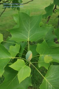 Tulip tree flipper leaves and a blue flower bud