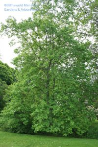 Liriodendron tulipifera - the whole tree (look up)