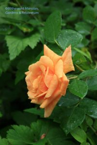 A non-repeating orange rose - once is enough to convince me to keep it.
