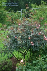Rosa glauca - I never doubted you could do it.