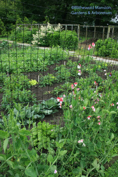 Painted Lady sweet peas and veg bed vista