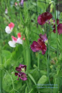 Sweet pea 'Zinfandel' and 'Painted Lady'