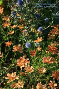 Coreopsis 'Sienna Sunset' and Eryngium