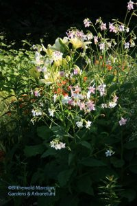 Nicotiana mutabilis and a green lily