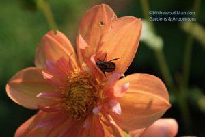 Oriental beetle