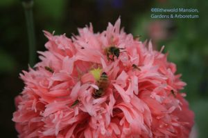 honeybees and hover flies on a pink peony poppy