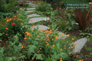 Eschscholzia californica - California poppies
