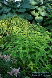 Caryopteris x clandonensis 'Summer Sorbet'