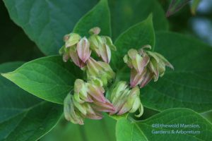 Clerodendrum trichotomum - Harlequin glory bower buds