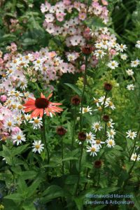 Echinacea 'Sundown' with Rosa 'Ballerina' and Kalimeris