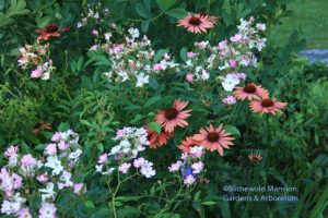 Echinacea 'Sundown' and Rosa 'Ballerina'