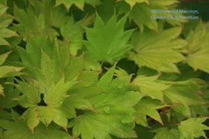 Acer shirasawanum 'Aureum' Full moon Japanese maple