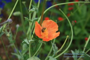honeybee working the Glaucium grandiflorum