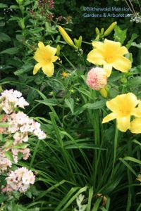 Rudbeckia in the North Garden