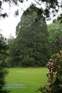 our largest Giant Sequoia (Sequoiadendron giganteum)