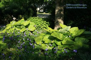 Hosta 'Sum and Substance' and Geranium 'Rozanne'