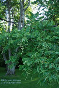 Toona sinensis (Cedrela sinensis) Chinese toon tree in bloom