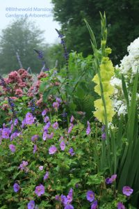 Gladiolus 'Green Star', Phlox 'Natural Feelings', Geranium 'Rozanne'