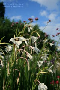 Gladiolus murielae (a.k.a. Acidanthera, G. callianthus)