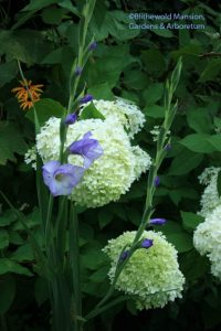 Gladiolus 'Blues' and Hydrangea 'Limelight'