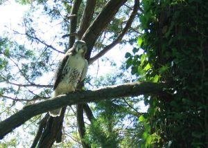 Our hawk 8-20-09