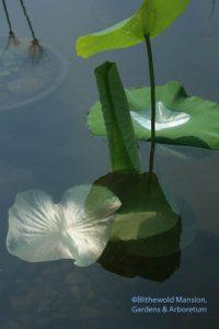 The lotus finally submerged.
