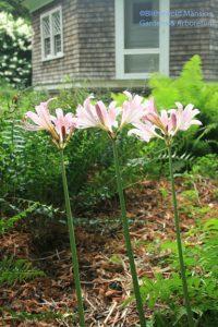 Lycoris squamigera - resurrection lily