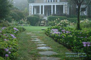 Colchicum autumnale - Autumn crocus on the path to the North Garden